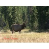 yellowstone-national-park-elk-hd-video-christmas-ecard